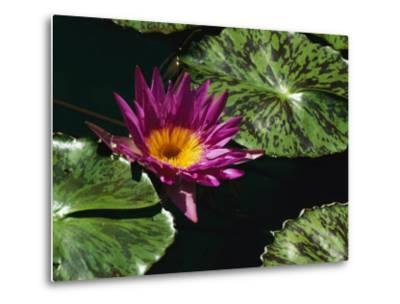A Water Lily Blossom and Pads on a Chicago Botanic Garden Pool-Paul Damien-Metal Print