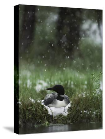 Snow Falls on a Loon Incubating its Nest-Michael S^ Quinton-Stretched Canvas Print