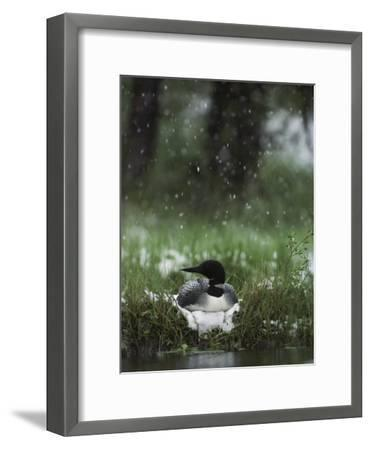 Snow Falls on a Loon Incubating its Nest-Michael S^ Quinton-Framed Photographic Print