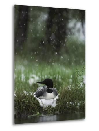 Snow Falls on a Loon Incubating its Nest-Michael S^ Quinton-Metal Print