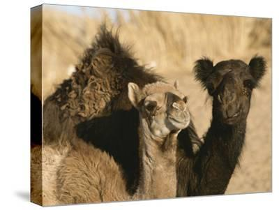 A Pair of Dromedary Camels Pose Proudly in the Sahara Desert-Peter Carsten-Stretched Canvas Print