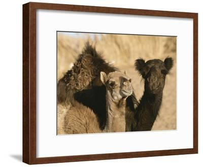 A Pair of Dromedary Camels Pose Proudly in the Sahara Desert-Peter Carsten-Framed Photographic Print