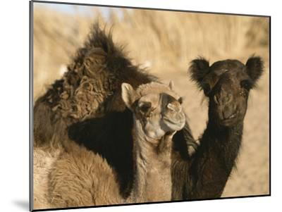 A Pair of Dromedary Camels Pose Proudly in the Sahara Desert-Peter Carsten-Mounted Photographic Print