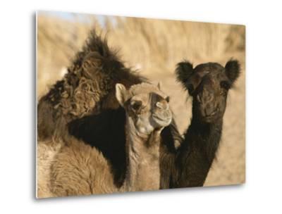 A Pair of Dromedary Camels Pose Proudly in the Sahara Desert-Peter Carsten-Metal Print