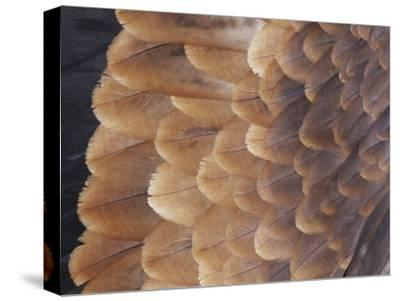 A Close View of the Wing Feathers of a Wedge-Tailed Eagle-Jason Edwards-Stretched Canvas Print