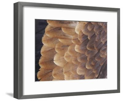 A Close View of the Wing Feathers of a Wedge-Tailed Eagle-Jason Edwards-Framed Photographic Print