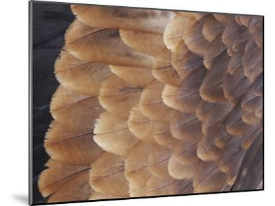 A Close View of the Wing Feathers of a Wedge-Tailed Eagle-Jason Edwards-Mounted Photographic Print
