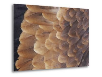A Close View of the Wing Feathers of a Wedge-Tailed Eagle-Jason Edwards-Metal Print