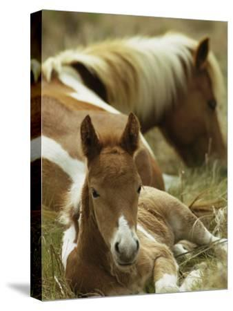 Wild Pony and Foal at Rest in a Grassy Plain-James L^ Stanfield-Stretched Canvas Print