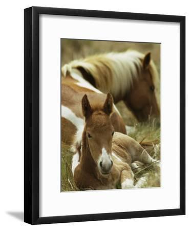 Wild Pony and Foal at Rest in a Grassy Plain-James L^ Stanfield-Framed Photographic Print