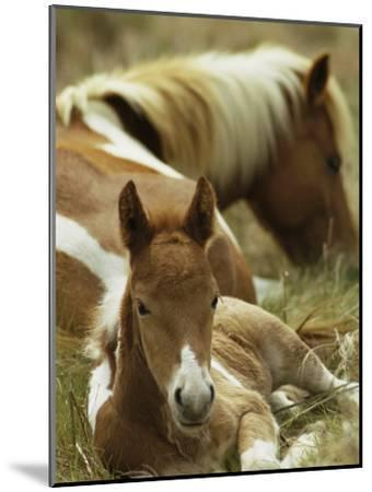 Wild Pony and Foal at Rest in a Grassy Plain-James L^ Stanfield-Mounted Photographic Print