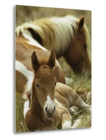 Wild Pony and Foal at Rest in a Grassy Plain-James L^ Stanfield-Metal Print