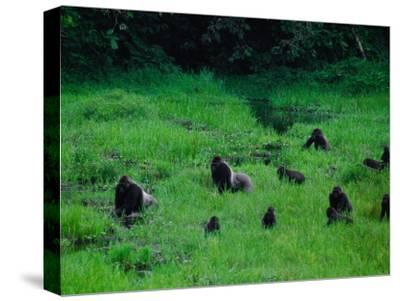 Western Lowland Gorillas Foraging in the Bai-Michael Nichols-Stretched Canvas Print