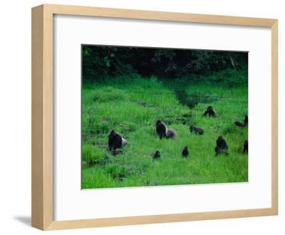 Western Lowland Gorillas Foraging in the Bai-Michael Nichols-Framed Photographic Print