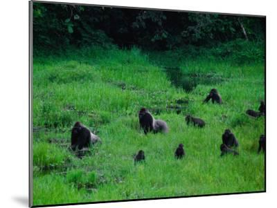 Western Lowland Gorillas Foraging in the Bai-Michael Nichols-Mounted Photographic Print