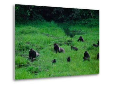 Western Lowland Gorillas Foraging in the Bai-Michael Nichols-Metal Print