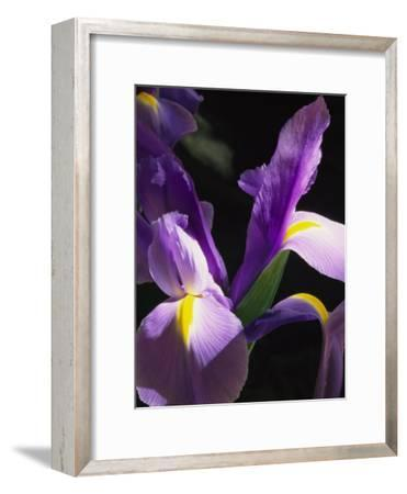 Close View of a Domesticated Iris-Marc Moritsch-Framed Photographic Print