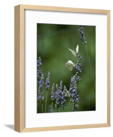 Butterflies on a Lavender Flower-Taylor S^ Kennedy-Framed Photographic Print