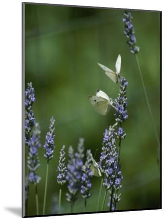 Butterflies on a Lavender Flower-Taylor S^ Kennedy-Mounted Photographic Print
