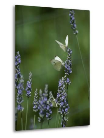 Butterflies on a Lavender Flower-Taylor S^ Kennedy-Metal Print