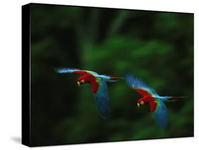 A Mated Pair of Red-And-Green Macaws Fly in Unison-Joel Sartore-Stretched Canvas Print