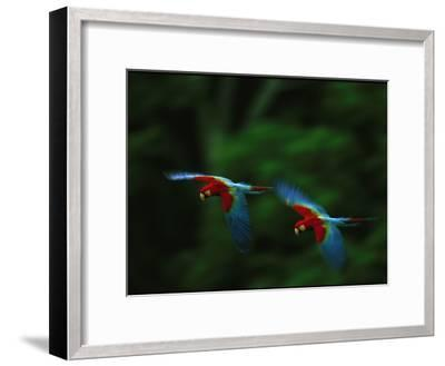 A Mated Pair of Red-And-Green Macaws Fly in Unison-Joel Sartore-Framed Photographic Print