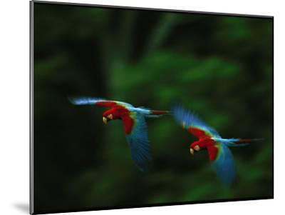 A Mated Pair of Red-And-Green Macaws Fly in Unison-Joel Sartore-Mounted Photographic Print