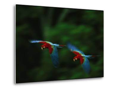 A Mated Pair of Red-And-Green Macaws Fly in Unison-Joel Sartore-Metal Print