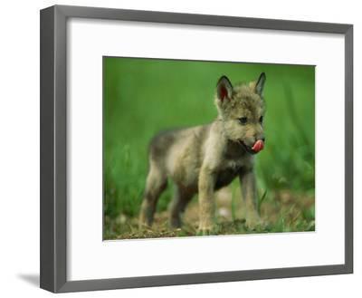 A Gray Wolf Cub Licks His Nose-Joel Sartore-Framed Photographic Print