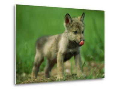 A Gray Wolf Cub Licks His Nose-Joel Sartore-Metal Print