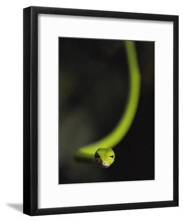 A Rain Forest Whip Snake-Mattias Klum-Framed Photographic Print