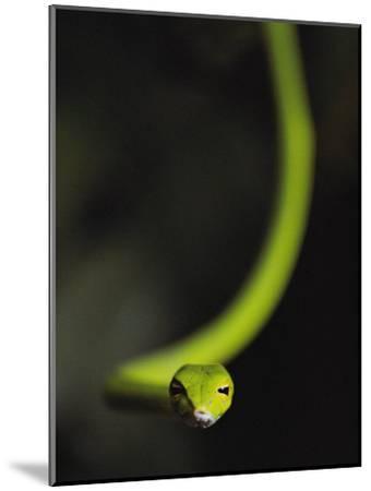 A Rain Forest Whip Snake-Mattias Klum-Mounted Photographic Print