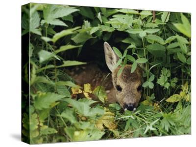 A Juvenile Roe Deer Looks out from a Nest of Green Plants-Mattias Klum-Stretched Canvas Print