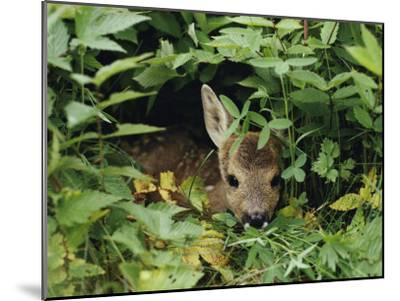A Juvenile Roe Deer Looks out from a Nest of Green Plants-Mattias Klum-Mounted Photographic Print