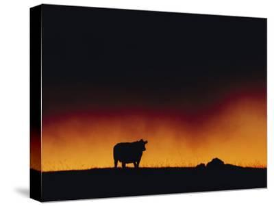A Dairy Cow is Silhouetted against a Fiery Sky Near Mauna Kea-Chris Johns-Stretched Canvas Print