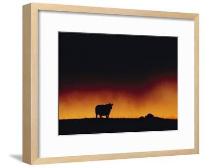 A Dairy Cow is Silhouetted against a Fiery Sky Near Mauna Kea-Chris Johns-Framed Photographic Print