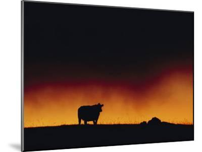 A Dairy Cow is Silhouetted against a Fiery Sky Near Mauna Kea-Chris Johns-Mounted Photographic Print
