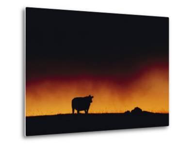 A Dairy Cow is Silhouetted against a Fiery Sky Near Mauna Kea-Chris Johns-Metal Print