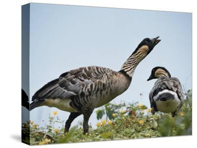 A Pair of Hawaiian or Nene Geese-Chris Johns-Stretched Canvas Print