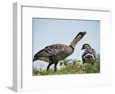 A Pair of Hawaiian or Nene Geese-Chris Johns-Framed Photographic Print