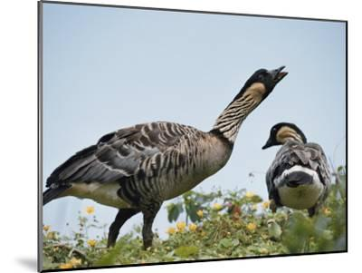 A Pair of Hawaiian or Nene Geese-Chris Johns-Mounted Photographic Print