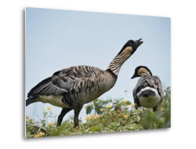 A Pair of Hawaiian or Nene Geese-Chris Johns-Metal Print