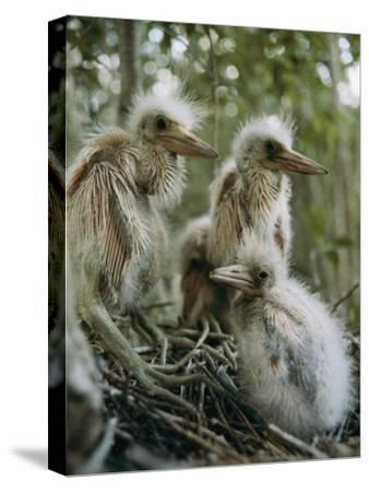 Juvenile Blue Herons in Their Nest-Sam Abell-Stretched Canvas Print