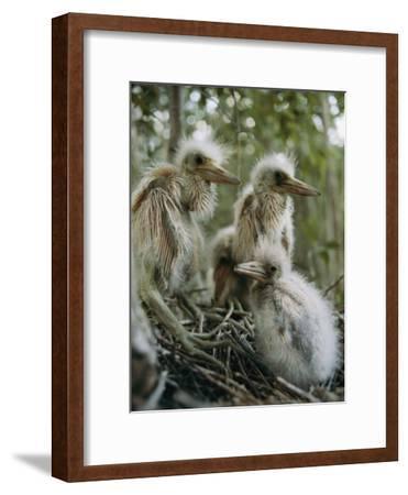Juvenile Blue Herons in Their Nest-Sam Abell-Framed Photographic Print