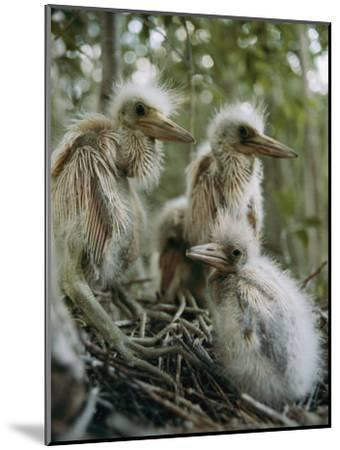 Juvenile Blue Herons in Their Nest-Sam Abell-Mounted Photographic Print