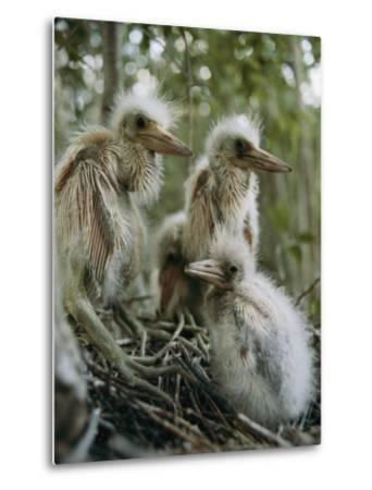 Juvenile Blue Herons in Their Nest-Sam Abell-Metal Print