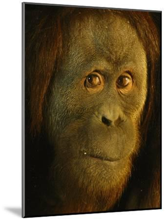 Orangutan (Pongo Pygmaeus)-Richard Nowitz-Mounted Photographic Print