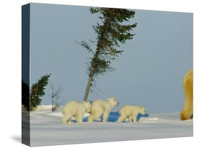 Polar Bear Triplets Follow in Their Mothers Footsteps-Norbert Rosing-Stretched Canvas Print