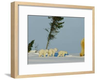 Polar Bear Triplets Follow in Their Mothers Footsteps-Norbert Rosing-Framed Photographic Print