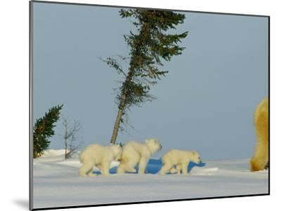 Polar Bear Triplets Follow in Their Mothers Footsteps-Norbert Rosing-Mounted Photographic Print
